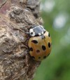 Eyed Ladybird 120709 Sherwood Forest 600 72dpi Jjc